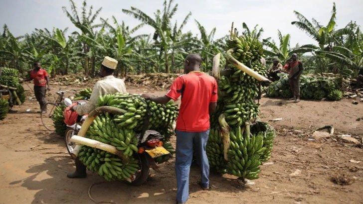 история банана