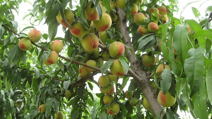 где растут персики